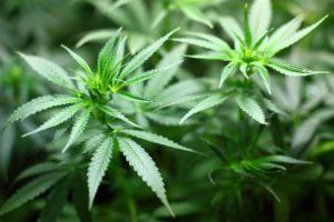 cannabis_lizenzfrei